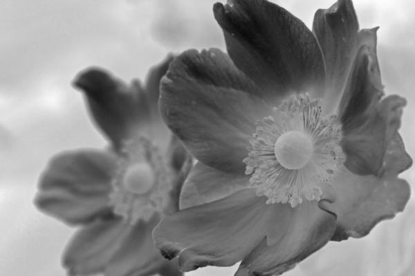 negative anemone